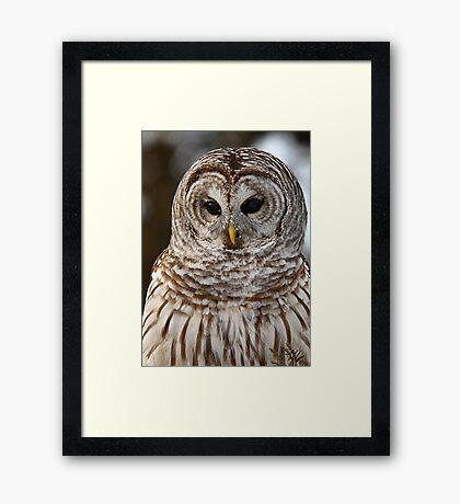 Barred Owl closeup Framed Print