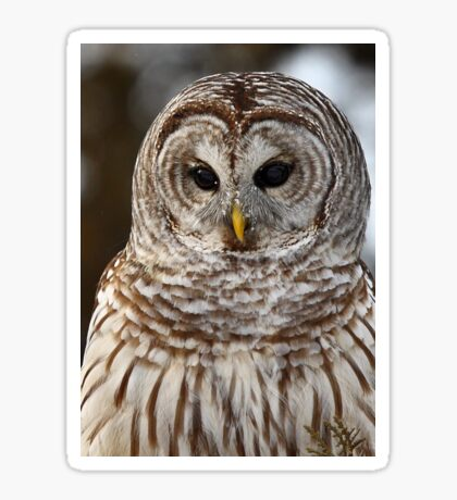 Barred Owl closeup Sticker