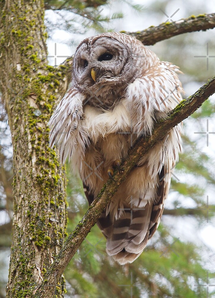 Cool Owl - Barred Owl by Jim Cumming