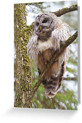Cool Owl - Barred Owl by Jim Cumming