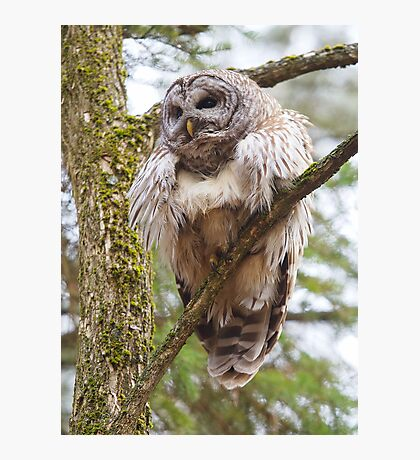 Cool Owl - Barred Owl Photographic Print