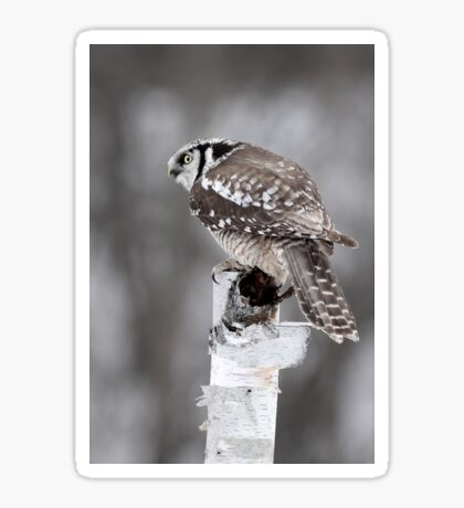 Northern Hawk Owl Sticker