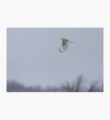 Snowy owl...high above the treetops Photographic Print