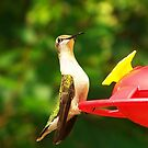 Female Ruby Throated Hummingbird by Jackie Popp