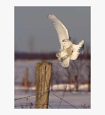 Snowy Owl on post Photographic Print