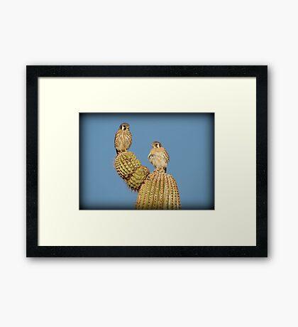 American Kestrel Pair Framed Print