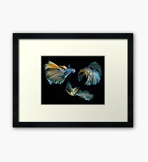 Fish Siamese fighting 3 Framed Print