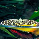 Blue eyes butterfly by Jackie Popp