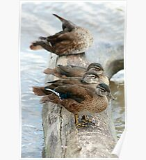 Ducks on a Log Poster