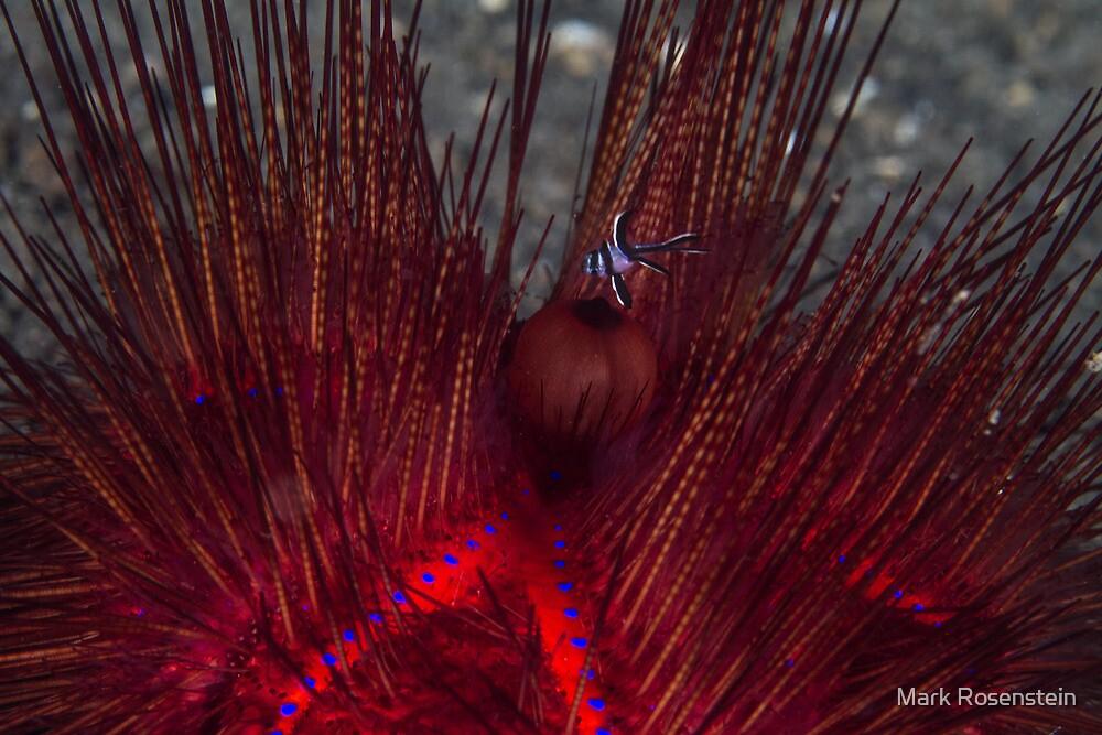 Fire Urchin with Cardinalfish by Mark Rosenstein