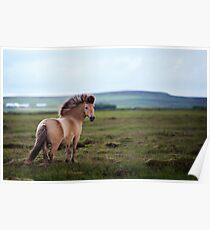 Icelandic Pony Poster