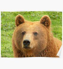 Ursus Arctos / Brown Bear Poster