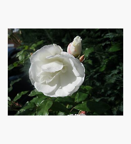 Snowy White Rose and Buds Photographic Print