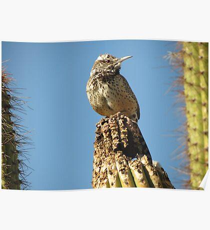 Cactus Wren on Lookout Poster