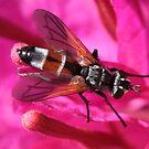 Soldier Fly - Stratiomyidae by Rina Greeff