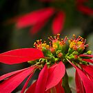 Christmas flower 01 by limon