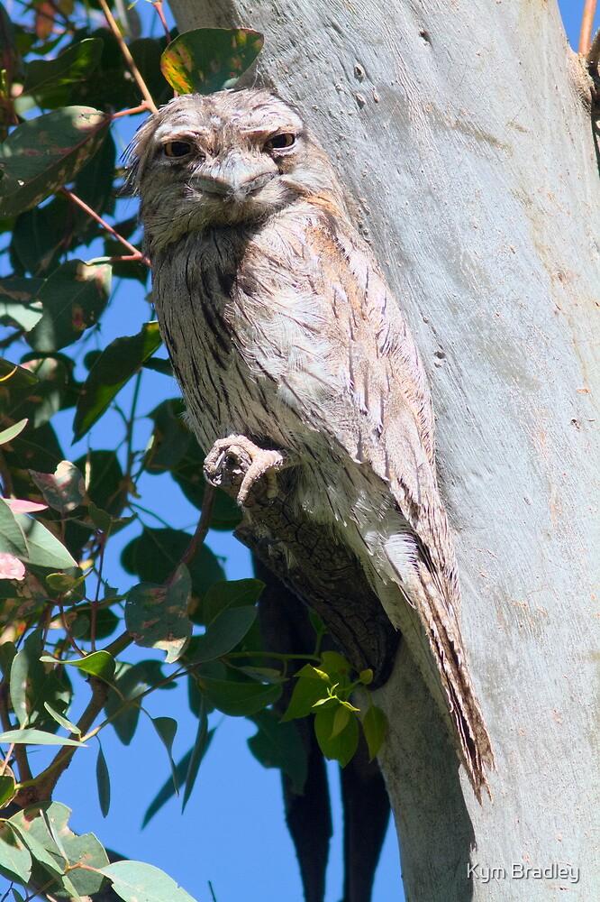 Wild  Tawny Frogmouth by Kym Bradley