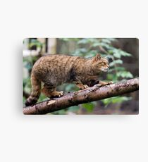 Scottish Wildcat Canvas Print