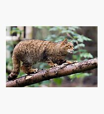 Scottish Wildcat Photographic Print