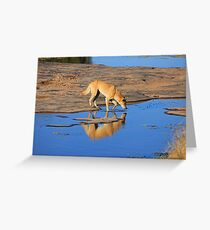 Dingo Drinking Greeting Card