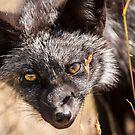 Fox Kit by Jim Stiles