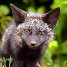 Fox Kit 2 by Jim Stiles