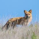 Red Fox Hunting Rabbits by Jim Stiles