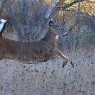On Prancer! - White-tailed Buck by Jim Cumming