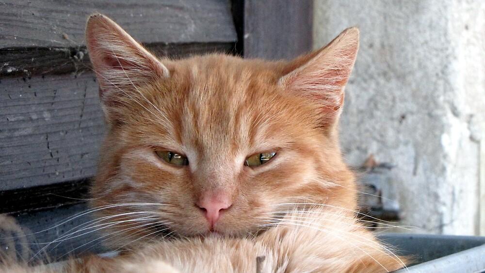 Yellow Cat by branko stanic