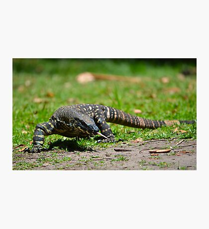 Lace Monitor Photographic Print