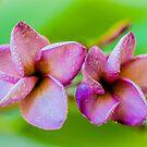 Purple Frangipani 2 by Keith G. Hawley