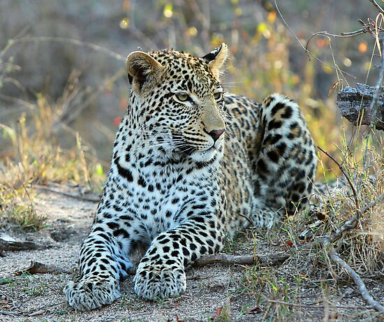 A special leopards son!! by Anthony Goldman