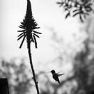 Kolibri von Marianna Tankelevich