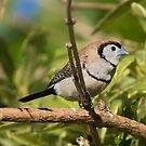 Double Bar Finch  by Kym Bradley