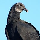 The Black Vulture 2 by Don Rankin