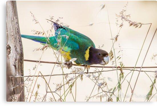 Australian Ringneck Parrot by Rick Playle
