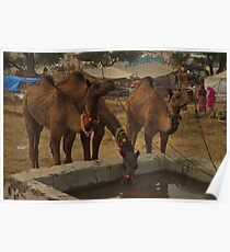 Camels Drinking Water Poster