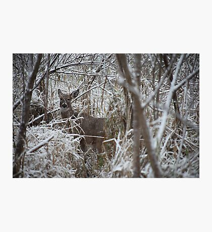 First Snow Doe Photographic Print