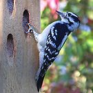 Downy Woodpecker by William Brennan