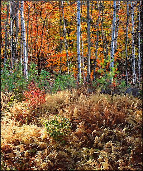 Birches and Ferns Rising  by Wayne King