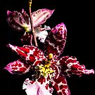 Orchid by D Byrne