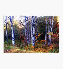 Dorchester Poplars Photographic Print