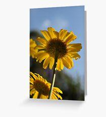 Anthemis tinctoria - Dyer's Chamomile Greeting Card