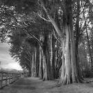 Big trees at Plas Newydd by Anna Phillips
