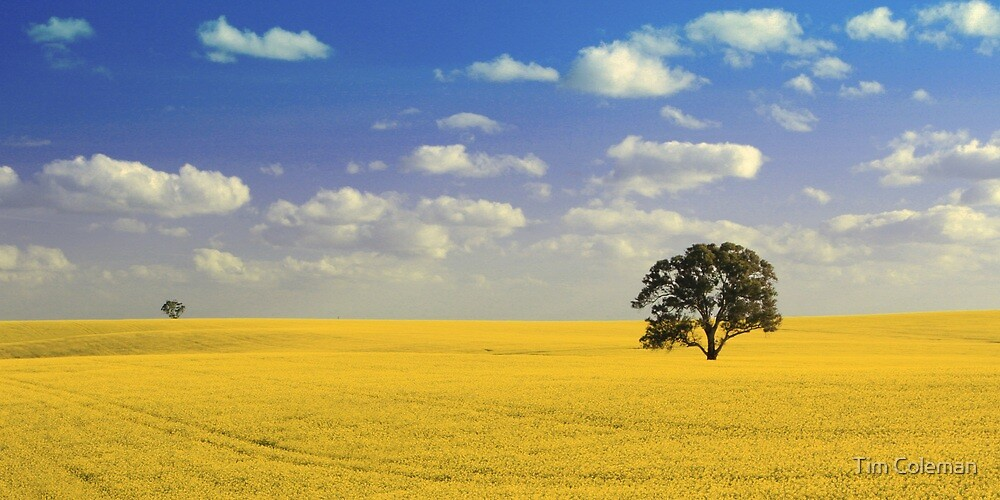 Field of Golden Canola by Tim Coleman