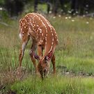 Foraging for food - White-tailed Deer by Jim Cumming