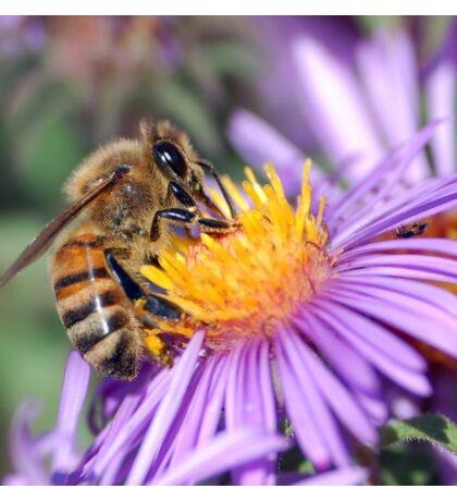 Honey Bee On Purple Flower Sticker