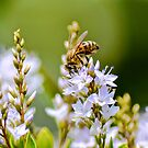 Busy Bee by Alison Hill