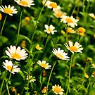 Chrysanthemum Series 2  by Alison Hill