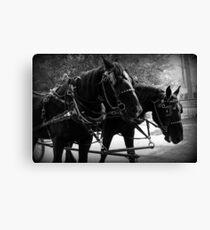 Black Percheron Draft Horse Team Canvas Print